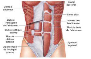 anatomie-abdominaux